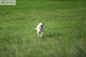 Labrador dog running in the park