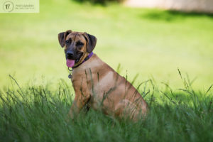 Close up of ridgeback x dog in the park