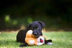 Dog lying on grass chewing teddy bear