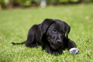 Dog lying on grass chewing