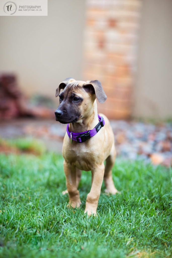 Ridgeback x puppy on grass