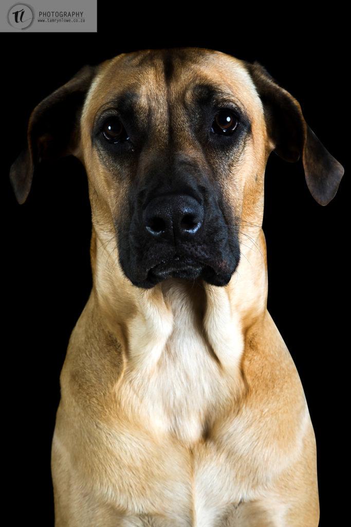 Ridgeback, dog, photographed in studio