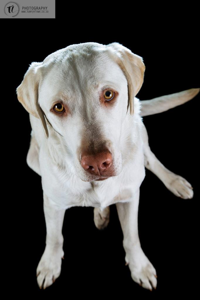 Labrador looking up at camera