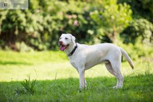 Labrador dog in the park